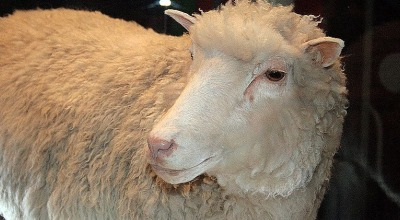 Dolly, the cloned sheep