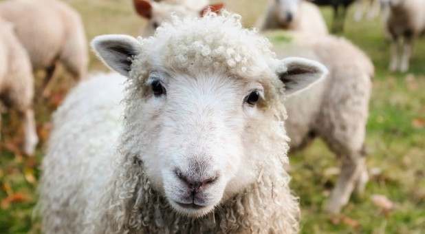 Prophetically speaking, I believe the outpouring of new wine will begin to separate the sheep from the goats—the true from the false.