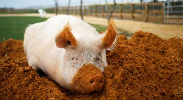 "A pig named Yossi sits in soil at ""Freedom Farm,"" which serves as a refuge for mostly disabled animals."